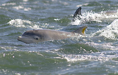 Moray Firth Dolphin calf